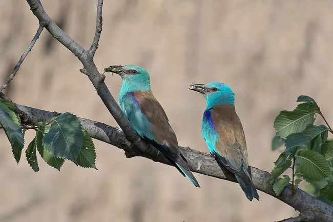 Синій птах наших ландшафтів | Газета «День» мобільна версія